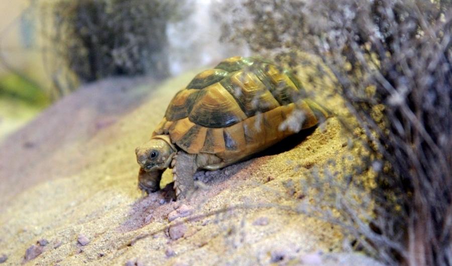 Egyptian tortoise - Testudo kleinmanni at Marwell Zoo