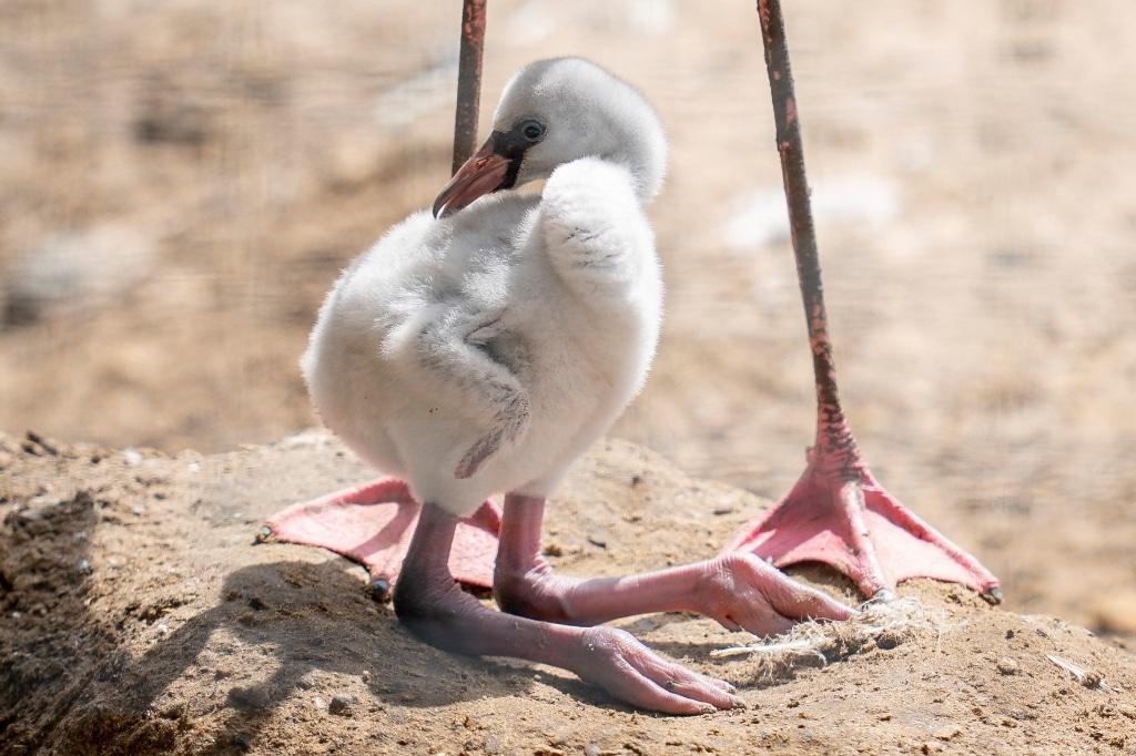 Zoo Photographer Credit Jason Brown Flamingo Chick 1