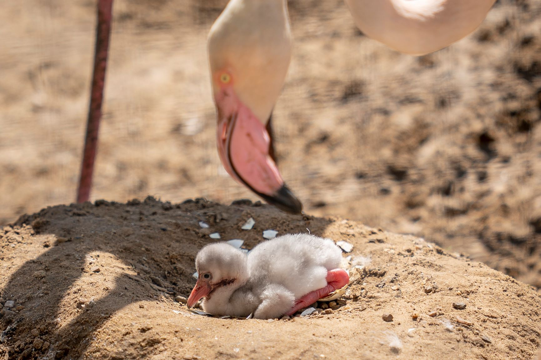 Zoo Photographer Credit Jason Brown Flamingo Chick 2