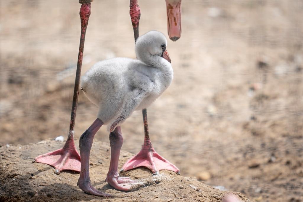 Zoo Photographer Credit Jason Brown Flamingo Chick 4