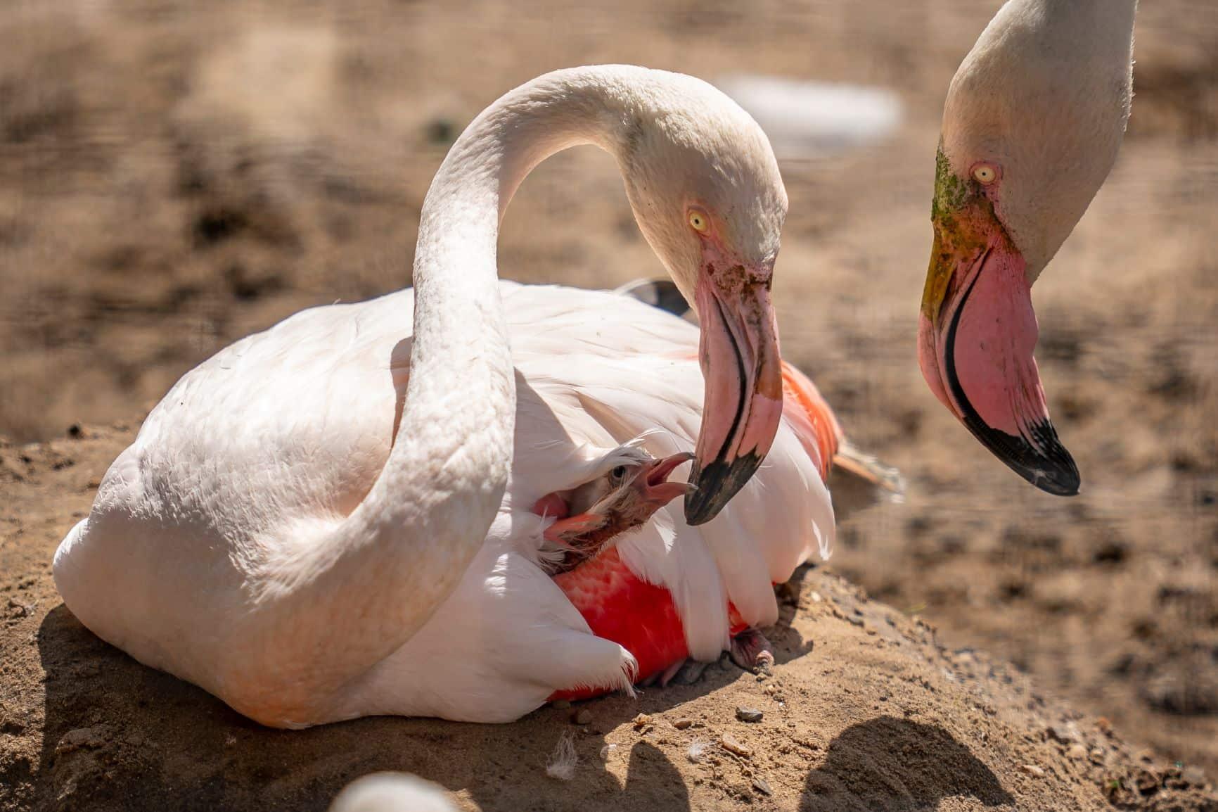 Zoo Photographer Credit Jason Brown Flamingo Chick 5