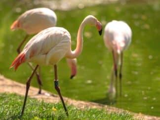 Zoo Photographer Credit Jason Brown Flamingos In Sun 1