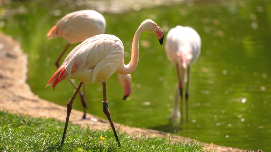 Greater flamingo - Phoenicopterus roseus at Marwell Zoo