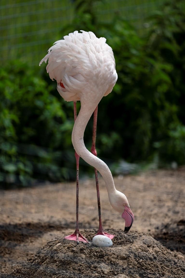 Zoo Photographer Credit Jason Brown Flamingos Nesting 4