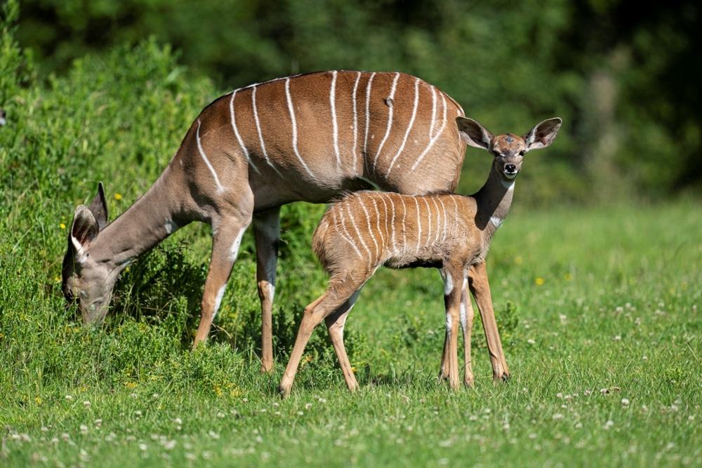 Zoo Photographer Credit Jason Brown Kudu Calf 1