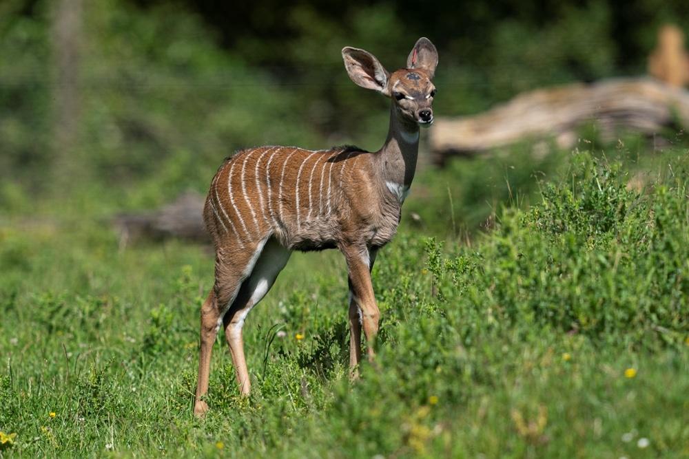 Zoo Photographer Credit Jason Brown Kudu Calf 2