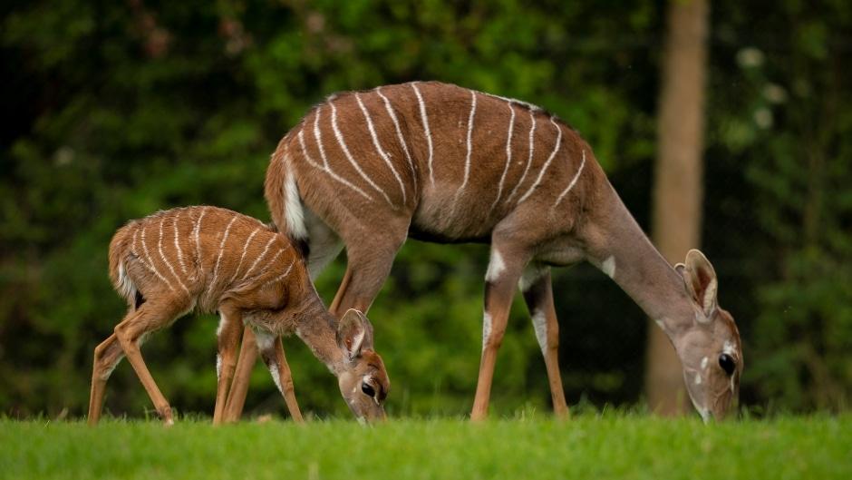 Zoo Photographer Credit Jason Brown Kudu Calf 4