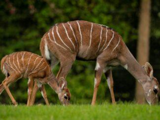 Zoo Photographer Credit Jason Brown Kudu Calf 5