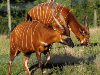 Zoo Photographer Jason Brown Bongo 2