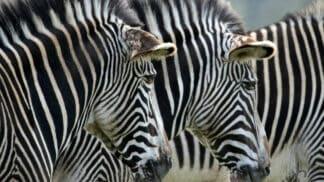 Hartmanns Mountain Zebra Equus Zebra Hartmannae Marwell Zoo Jasmine Curtis Zebra