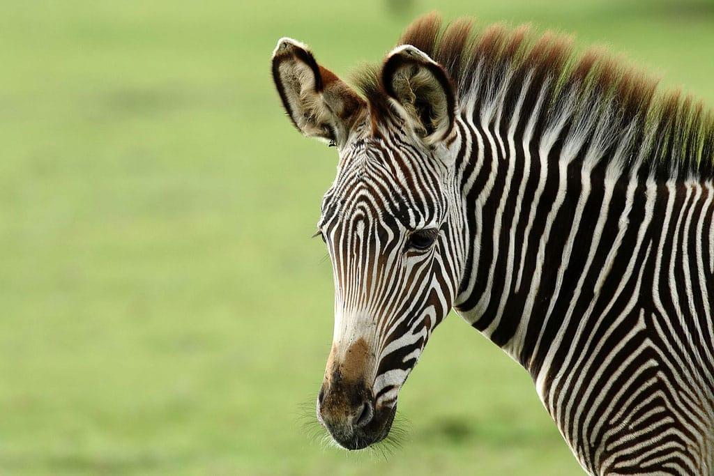 Hartmanns Mountain Zebra Equus Zebra Hartmannae Marwell Zoo Keith Talbot Zebra
