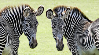 Hartmanns Mountain Zebra Equus Zebra Hartmannae Marwell Zoo Ken Dear Zebra