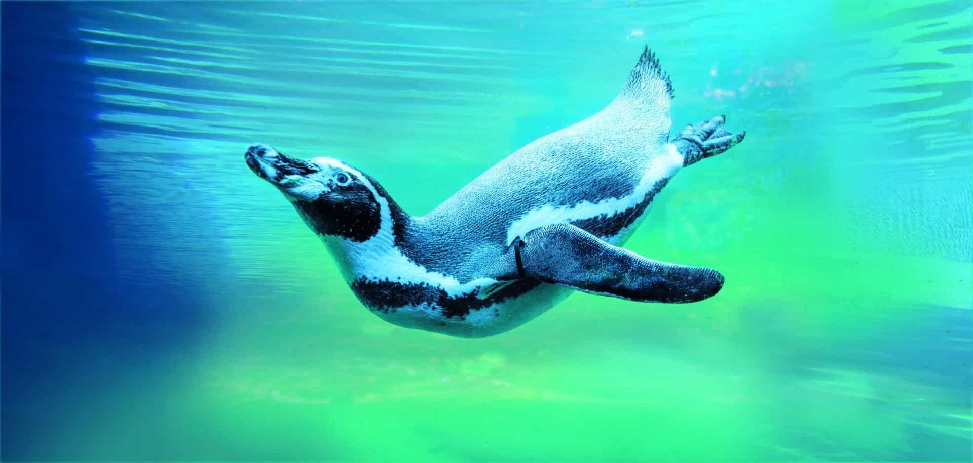 Humbolt Penguin Spheniscus Humboldti Marwell Zoo Jason Brown 5 Min