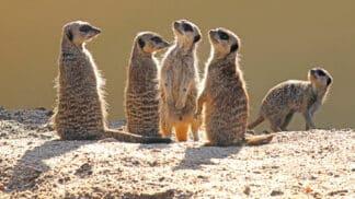 Meerkat Suricata Suricatta Marwell Zoo Jon Isaacs Meerkats In The Sun