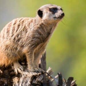 Meerkat Suricata Suricatta Marwell Zoo