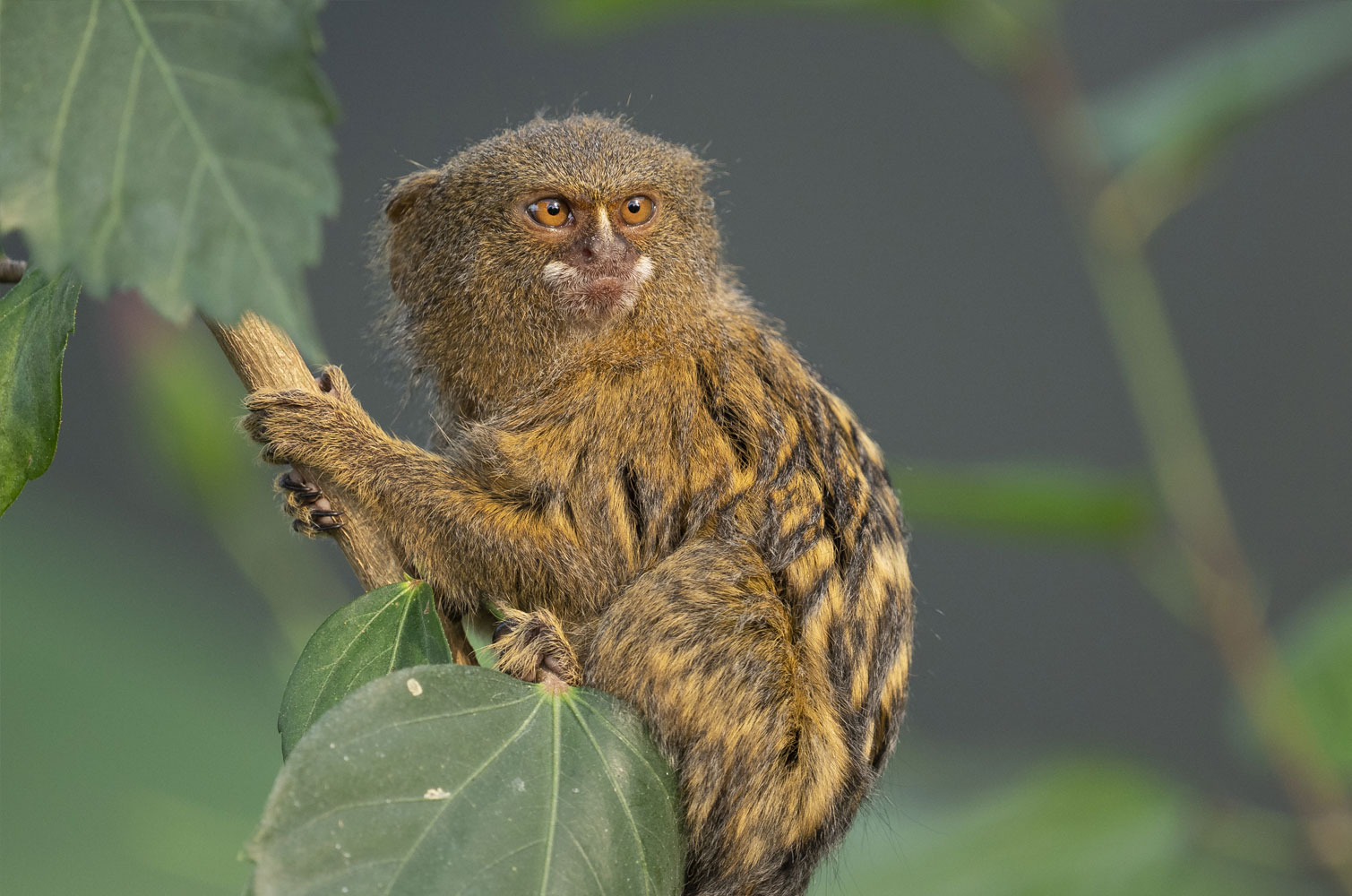 Pygmy Marmoset Cebuella Pygmaea Marwell Zoo 5
