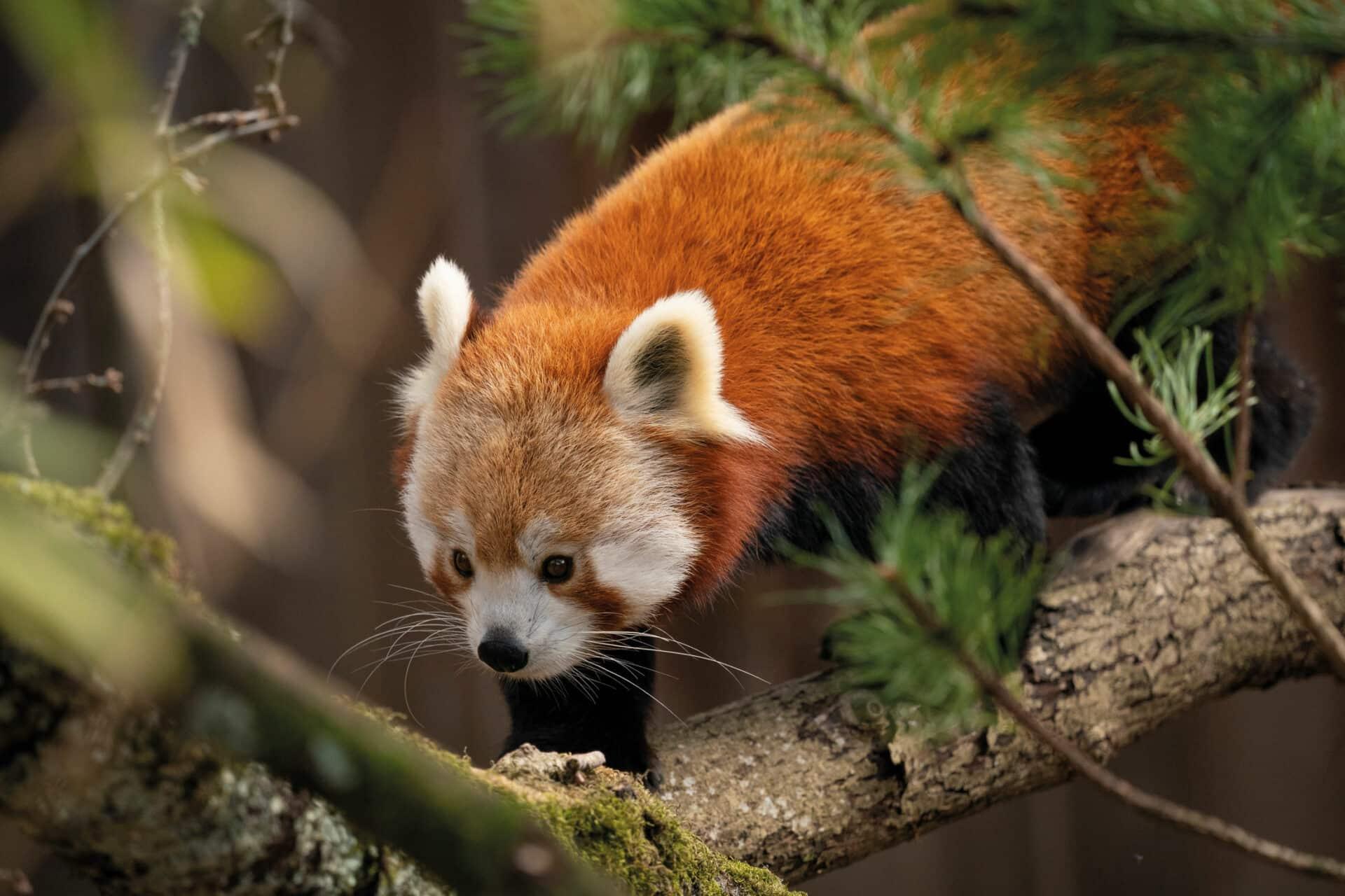 Red Panda Ailurus Fulgens Marwell Zoo Jason Brown Mei Mei New Home 1
