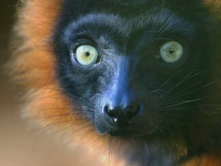 Red Ruffed Lemur Varecia Rubra Marwell Zoo