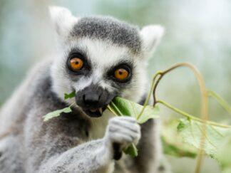 Ring Tailed Lemur Lemur Catta Marwell Zoo