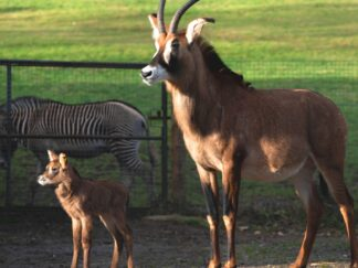 Roan Antelope Hippotragus Equinus Marwell Zoo