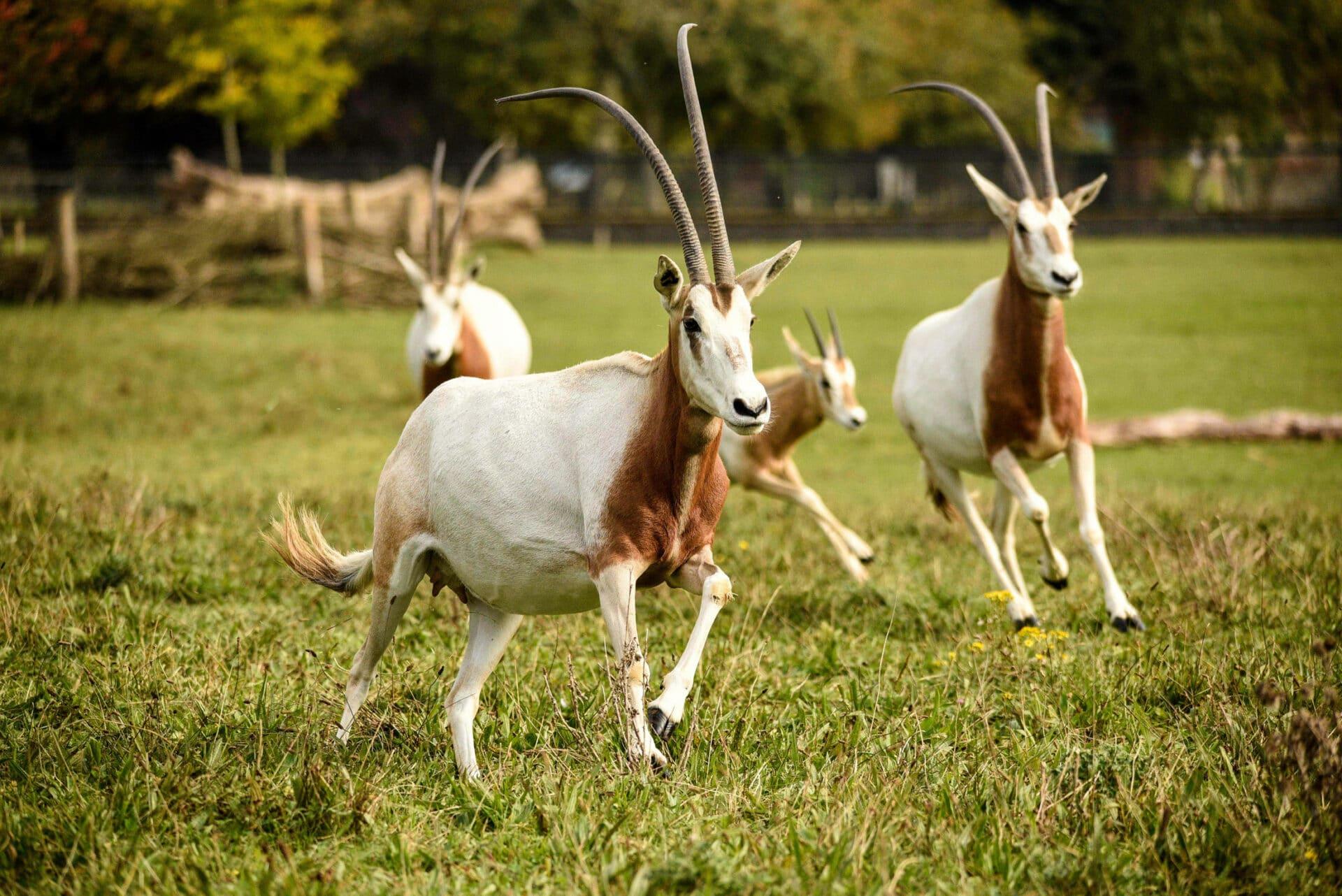 Scimitar Horned Oryx Oryx Dammah Marwell Zoo Hannah Pearce Scimitar Horned Oryx