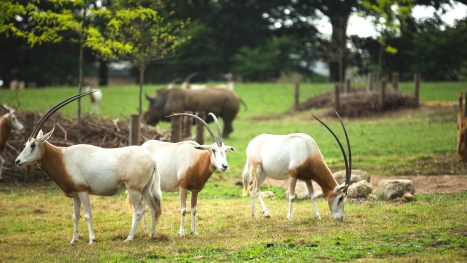 Scimitar Horned Oryx Oryx Dammah Marwell Zoo Jason Brown