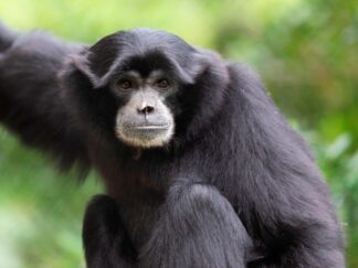 Siamang Gibbon Symphalangus Syndactylus Marwell Zoo