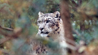 Snow Leopard Panthera Uncia Marwell Zoo Andy T