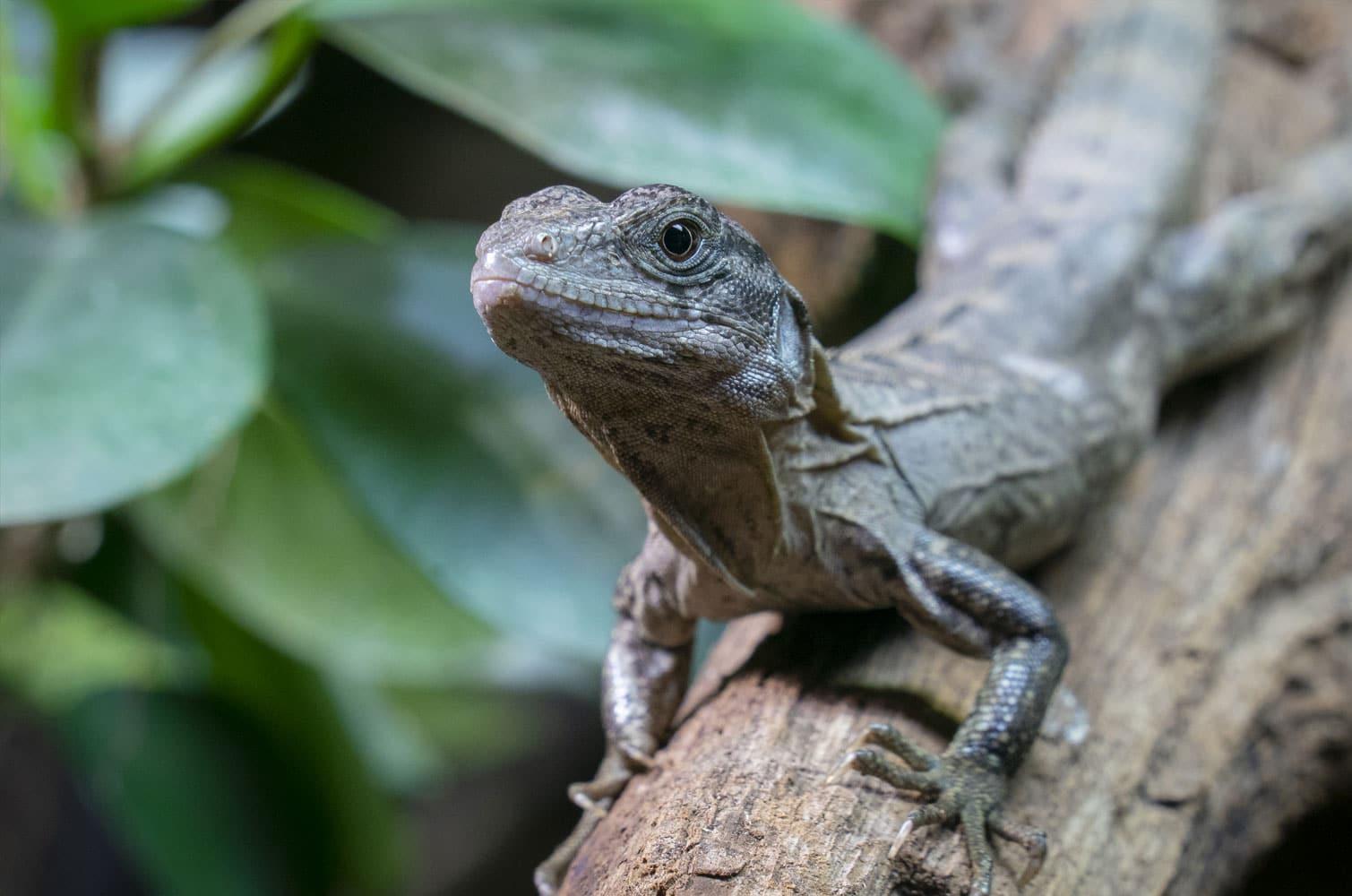 Utila Spiny Tailed Iguana Ctenosaura Bakeri Marwell Zoo