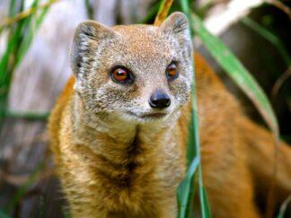 Yellow Mongoose Cynictis Penicillata Marwell Zoo
