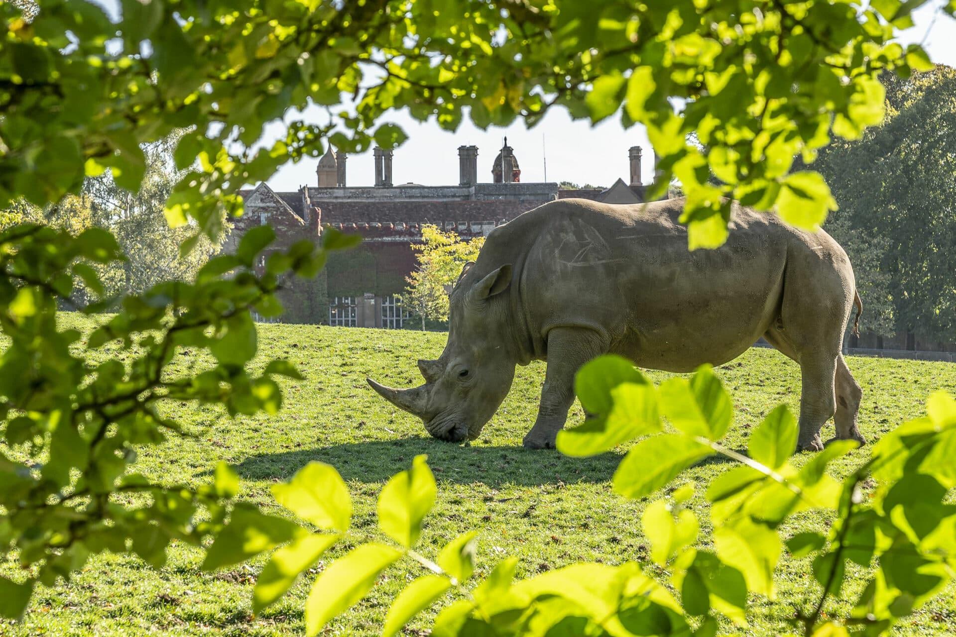 White Rhinoceros Ceratotherium Simum Marwell Zoo Jason Brown Rhino In Front Of Hall