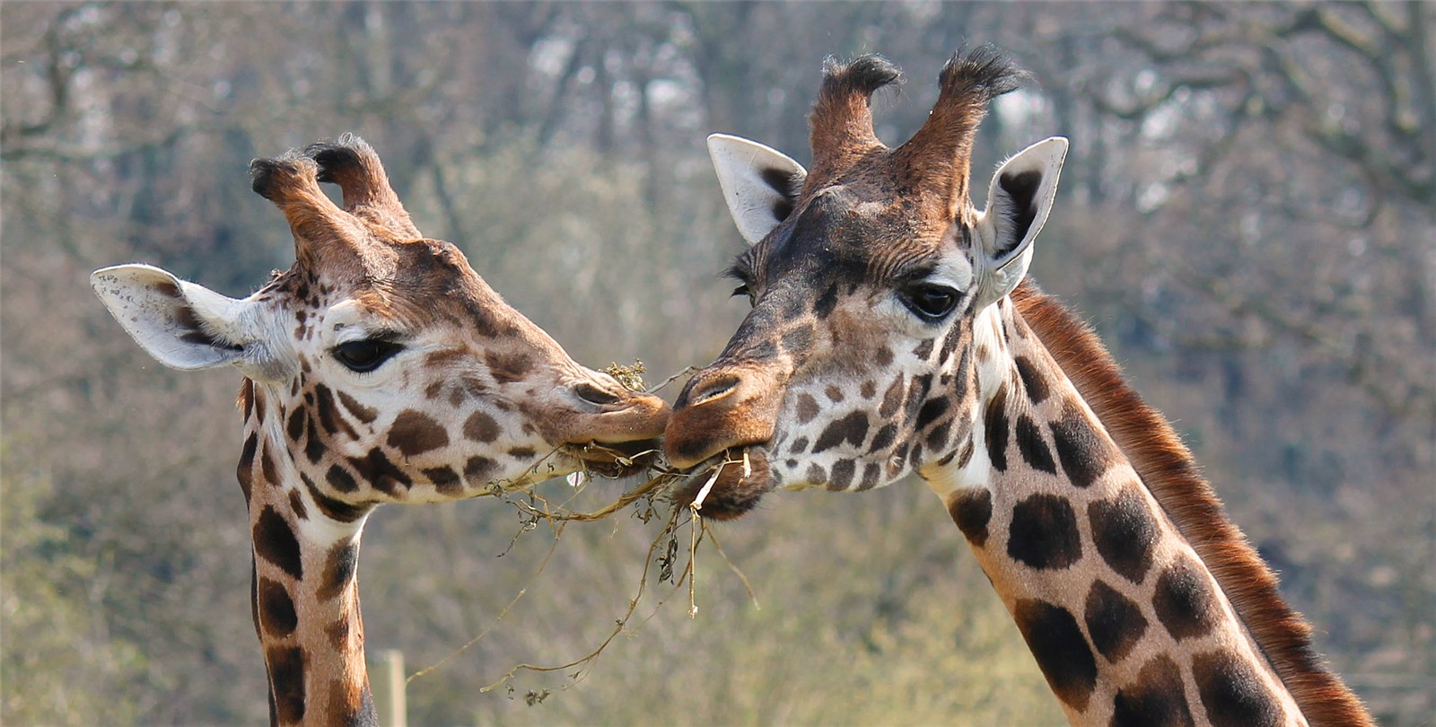 Giraffe Giraffa Camelopardalis Marwell Zoo Dinner For Two Sam Sampson