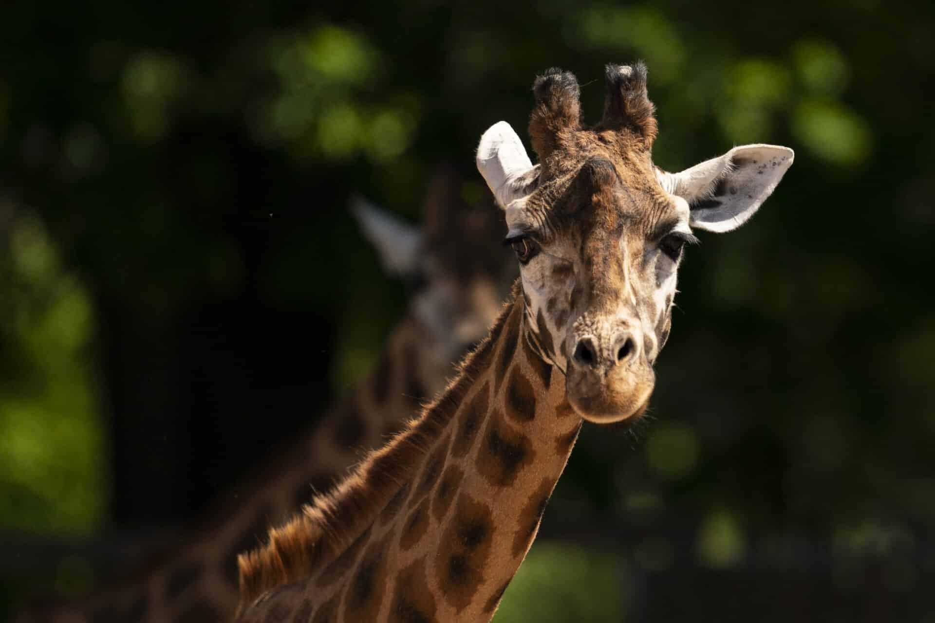 Giraffe Giraffa Camelopardalis Marwell Zoo Jason Brown Giraffe