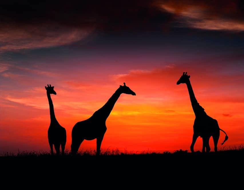 Giraffe Giraffa Camelopardalis Marwell Zoo Staff Photography Giraffes In The Sunset
