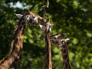 Giraffe Giraffa Camelopardalis Marwell Zoo New