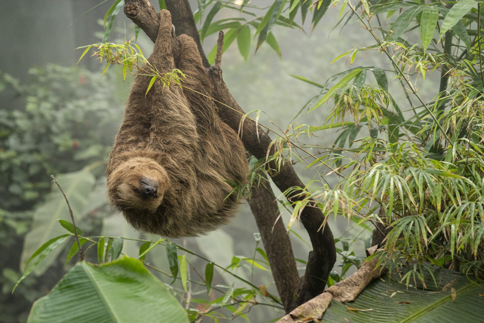 Linnes Two Toed Sloth Choloepus Didactylus Marwell Zoo Jason Brown Rica Hanging Out