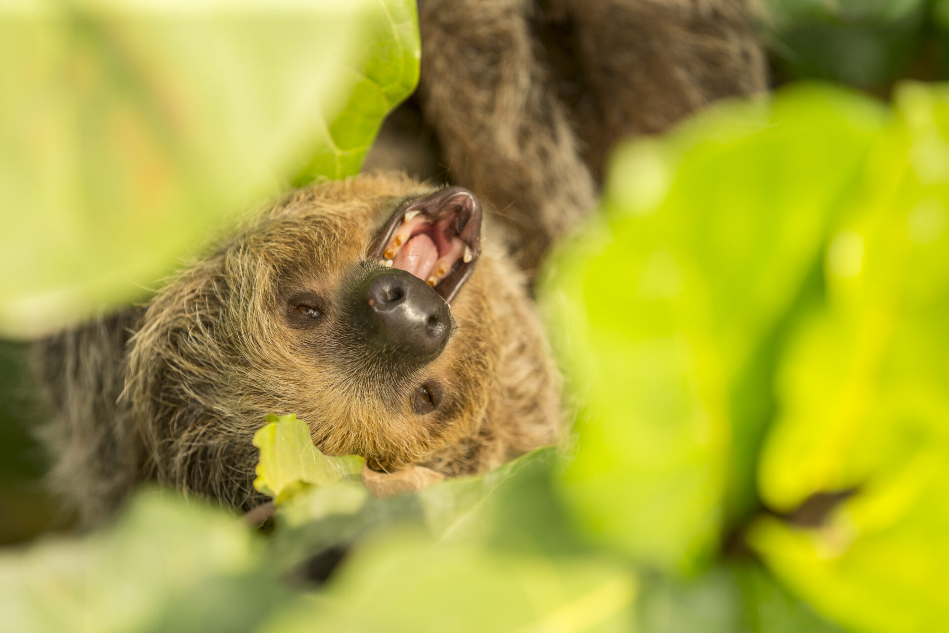 Linnes Two Toed Sloth Choloepus Didactylus Marwell Zoo Jason Brown Two Toed Sloth