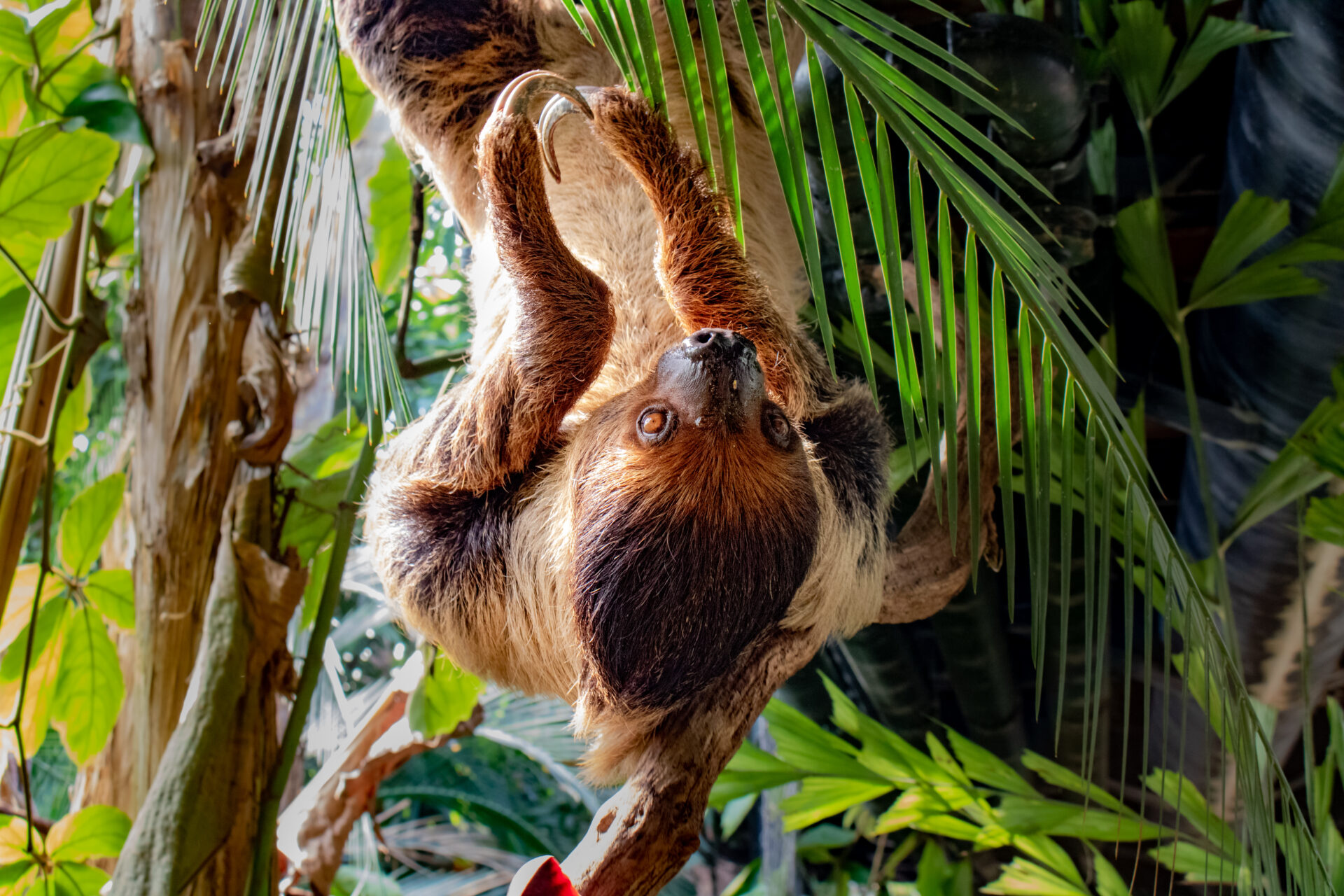 Linnes Two Toed Sloth Choloepus Didactylus Marwell Zoo Lara Jackson Santos 1