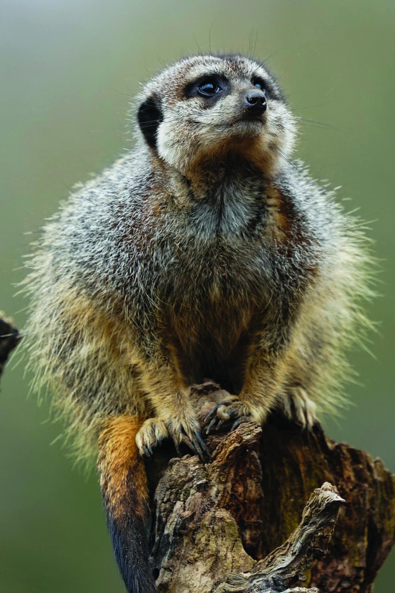 Meerkat Suricata Suricatta Marwell Zoo Jason Brown Meerkat Lookout