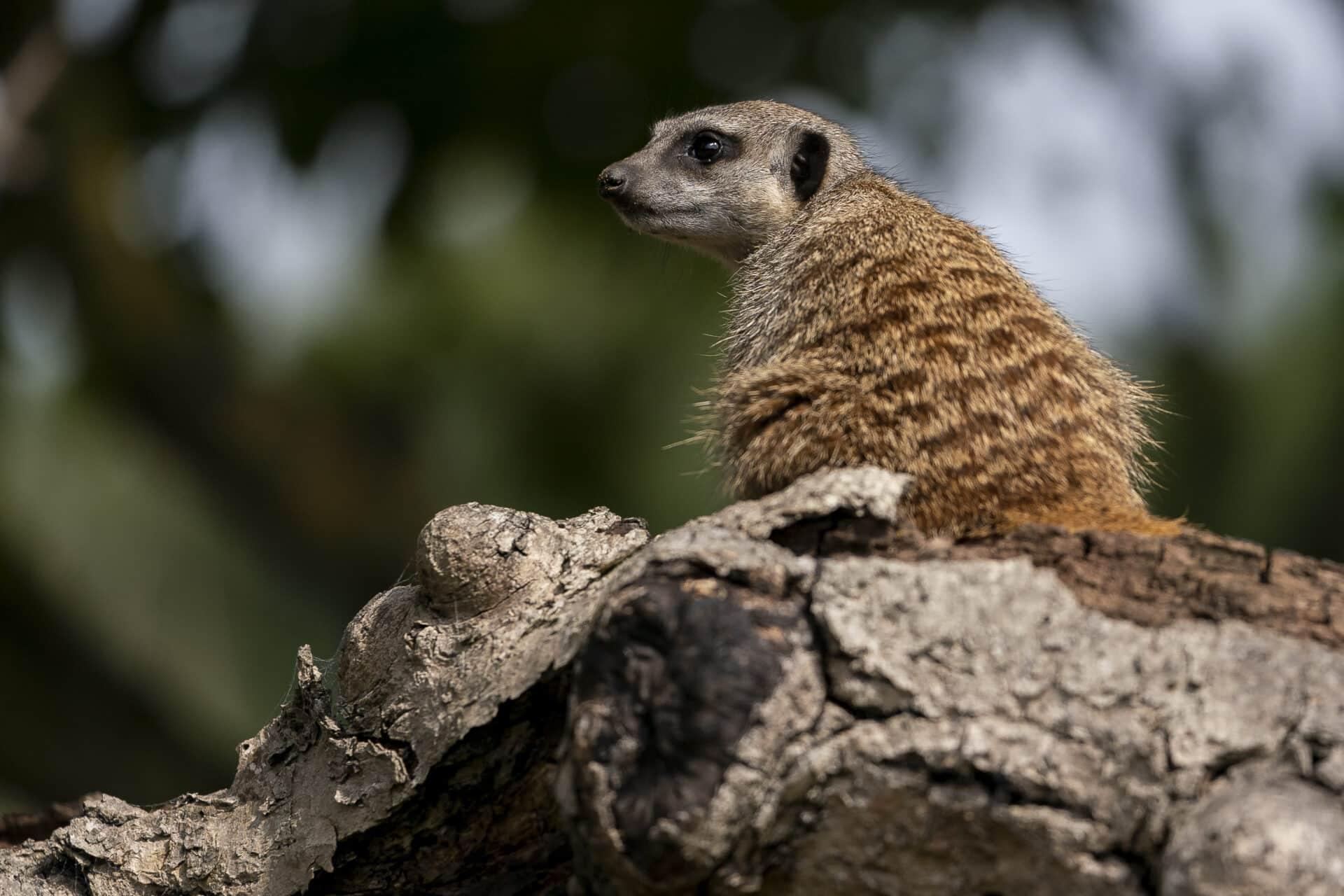Meerkat Suricata Suricatta Marwell Zoo Jason Brown Meerkats 6