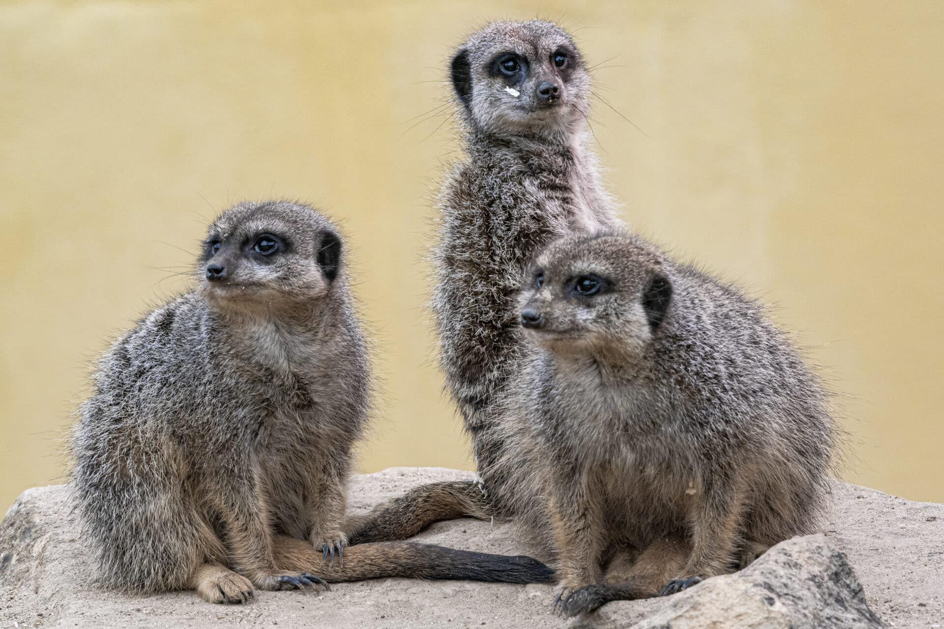 Meerkat Suricata Suricatta Marwell Zoo Jason Brown Meerkats 9