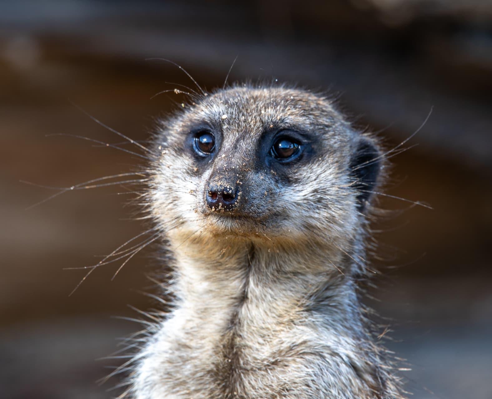 Meerkat Suricata Suricatta Marwell Zoo Mark Parris Meerkat Close Up