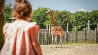 Zoo Photographer Credit Paul Collins Little Girl At Outside Giraffe Enclosure