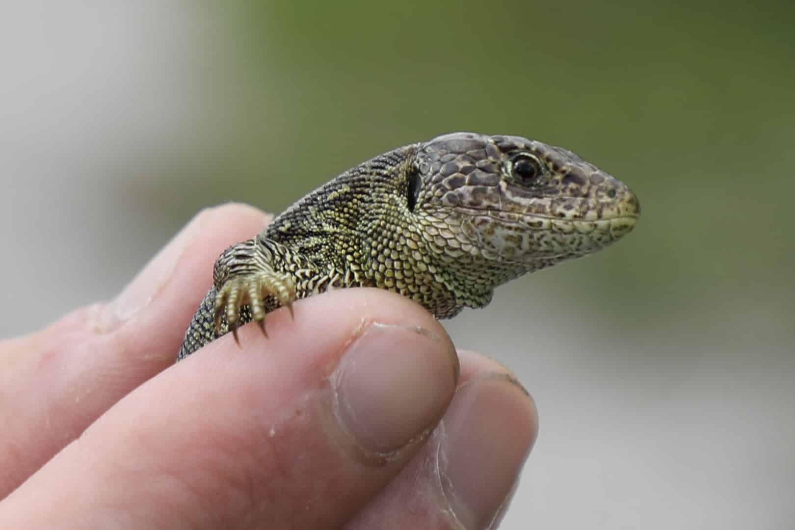 Sand lizard reintroduction