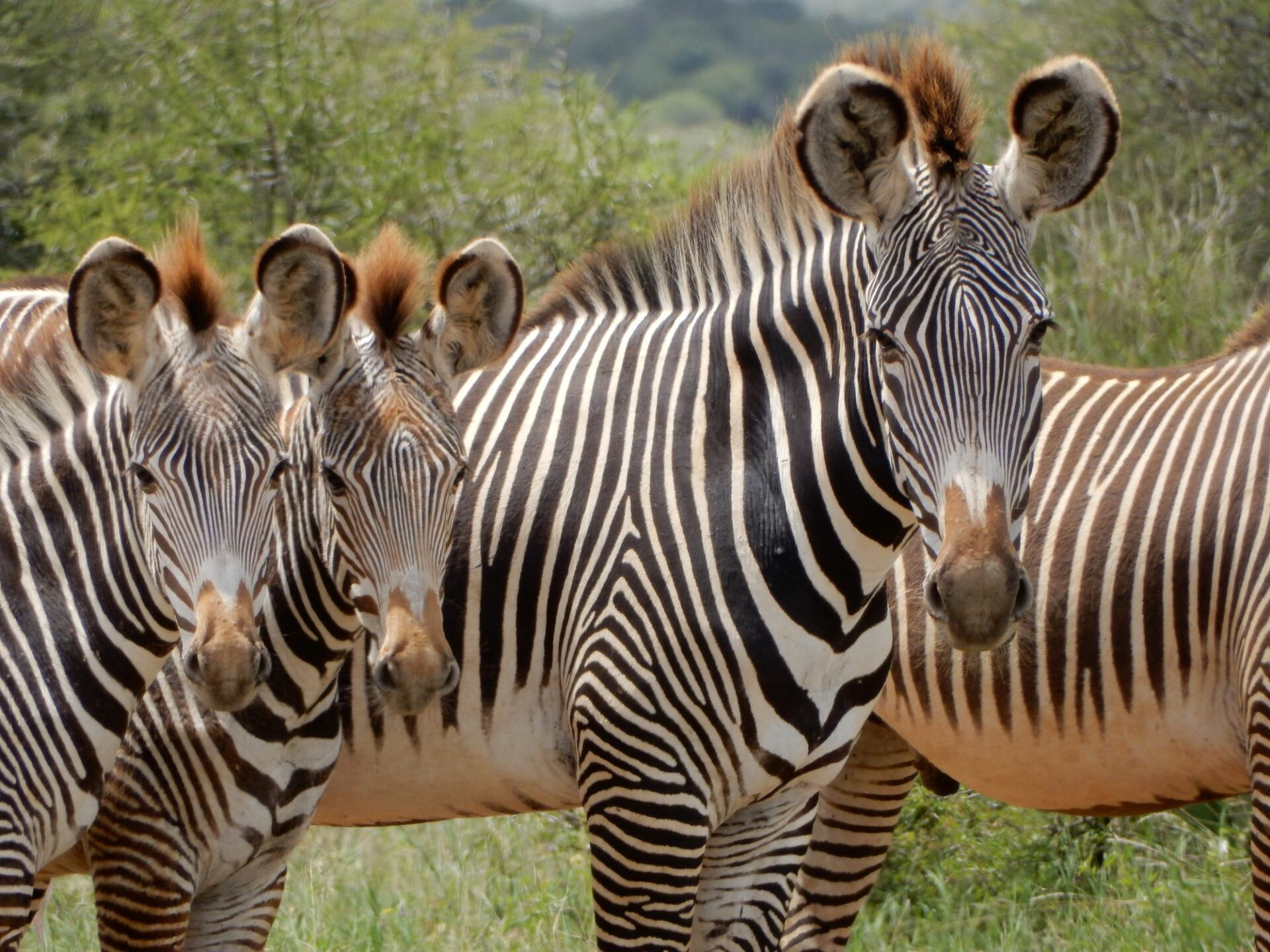 Grevys Zebra Equus Grevyi Marwell Zoo 1 1