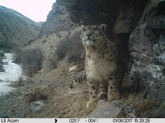 Snow Leopard Panthera Uncia Marwell Zoo Qilianshan