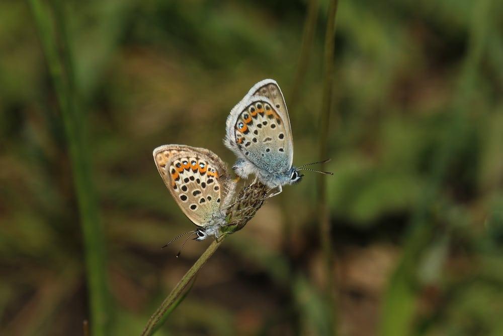 Plebeius Argus Silver Studded Blue Eelmoor Marsh Sssi