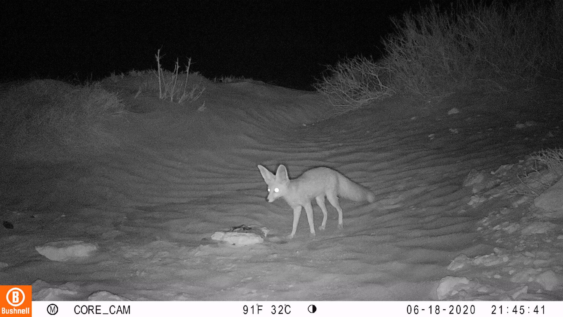 Ruppells Fox Vulpes Rueppellii Marwell Zoo 2