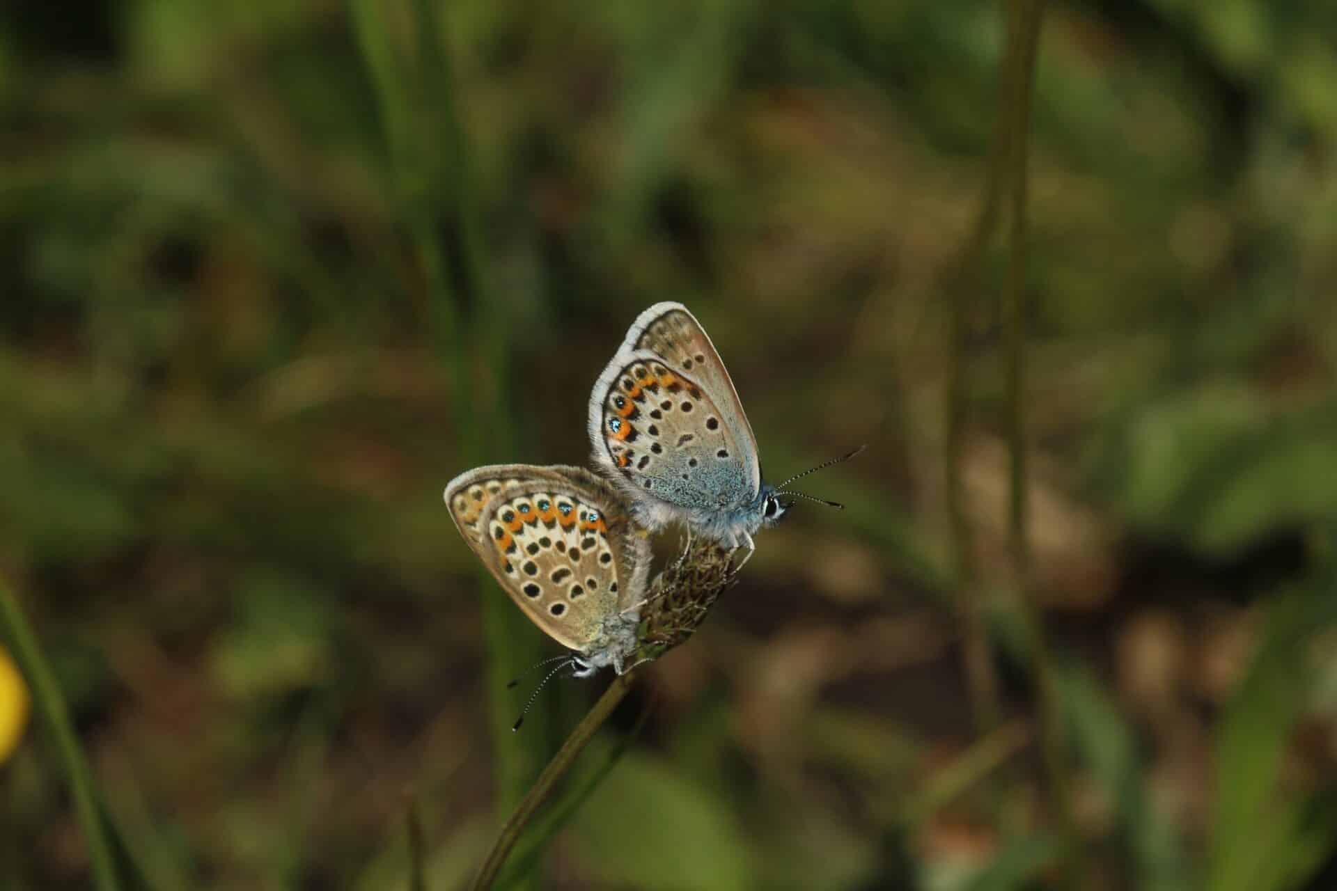 Silver Studded Blue Butterflies Marwell Zoo Nicholas Montegriffo
