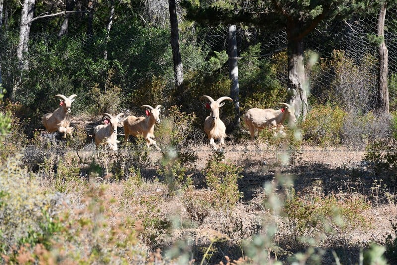 Some_of_the_barbary_sheep_in_zaghouan_np_credit_gouvernorat_de_zaghouan 2